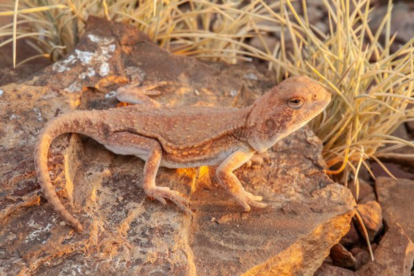 The Hidden Dragon (Cryptagama aurita) photographed in dusk light in the Kimberley region.