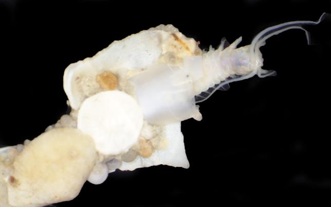 Deep-sea polychaete worm family Onuphidae