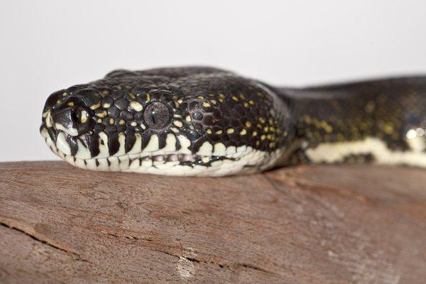 Diamond Python Headshot
