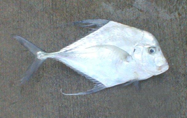 Diamond Trevally, Alectis indica