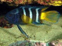 Eastern Blue Devil, Paraplesiops bleekeri