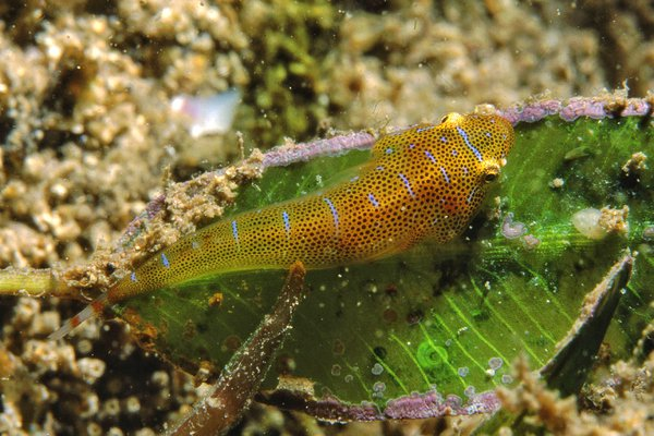 Eastern Cleaner-Clingfish, Cochleoceps orientalis