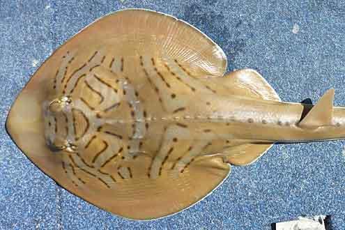 Eastern Fiddler Ray, Trygonorrhina fasciata