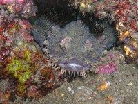 Eastern Frogfish, Batrachomoeus dubius