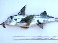 Elephant Fish, Callorhinchus milii