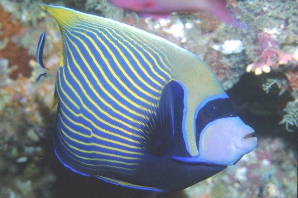 Emperor Angelfish, Pomacanthus imperator