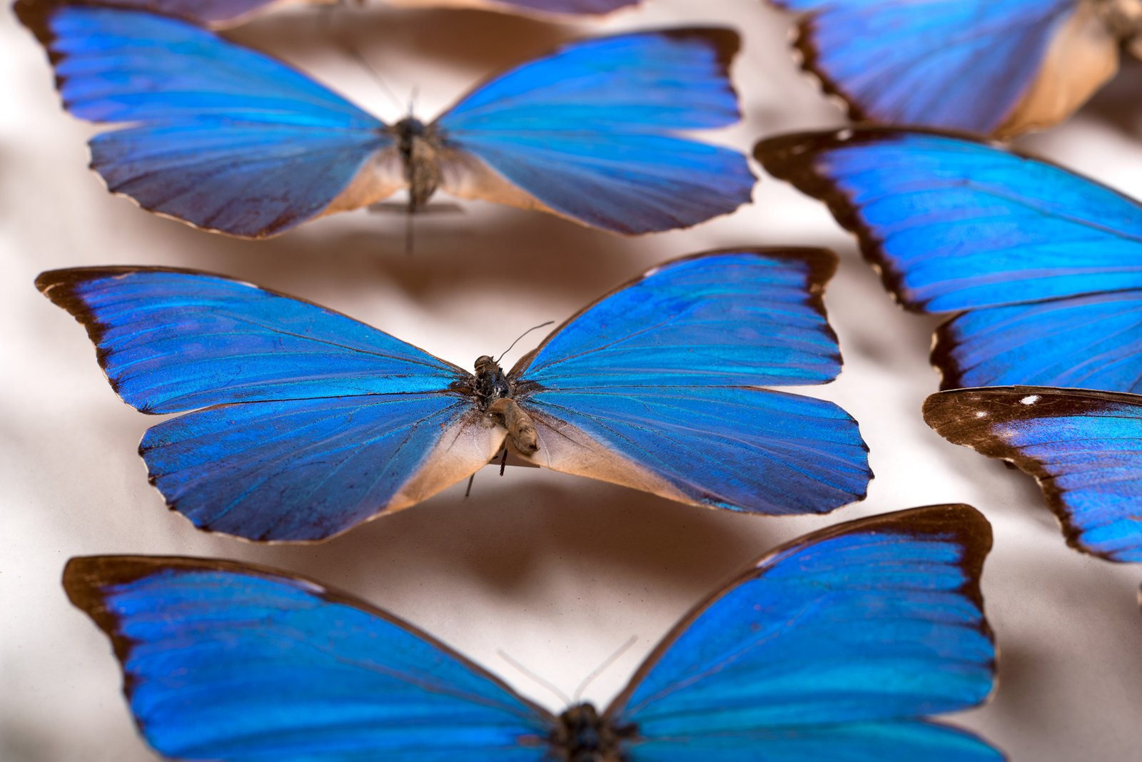 Lamond Collection Drawer, Morpho spp. (Nymphalidae)