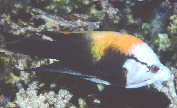 Epibulus insidiator