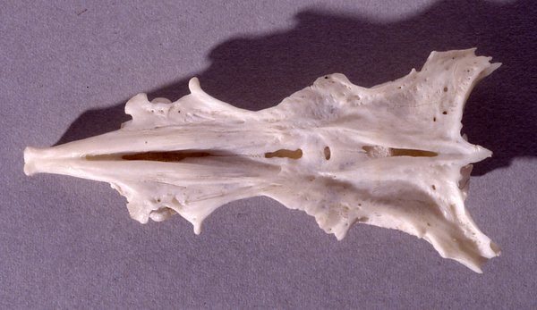 Estuary Catfish skull
