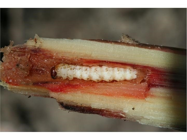 Exotic stemborer caterpillar Chilo terrenellus inside sugarcane stem in PNG