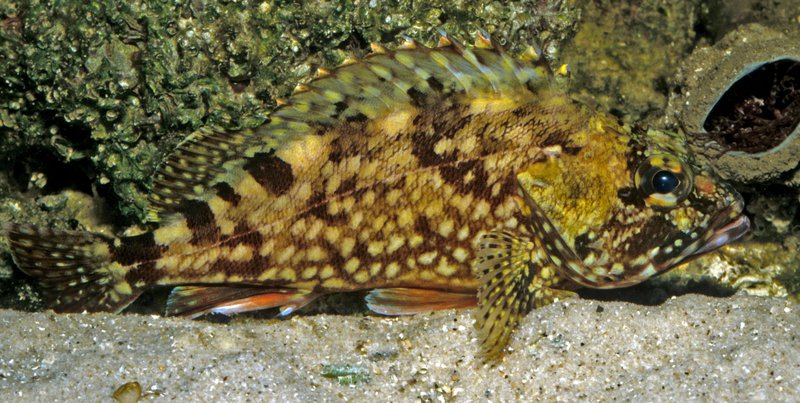 False Kelpfish, Sebastiscus marmoratus