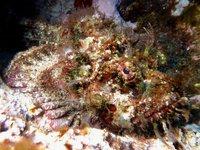 False Stonefish, Scorpaenopsis diabolus