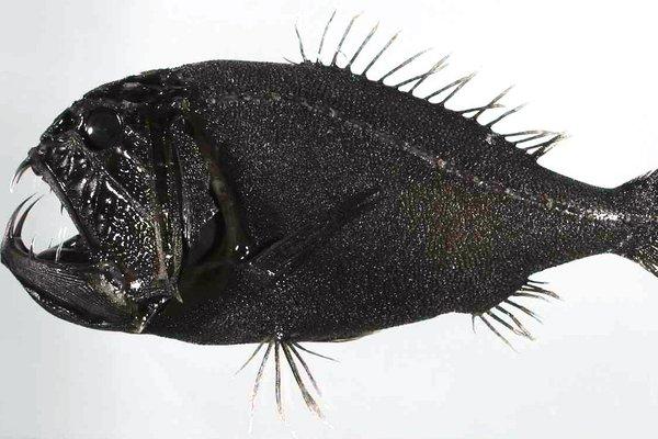 Fangtooth, Anoplogaster cornuta