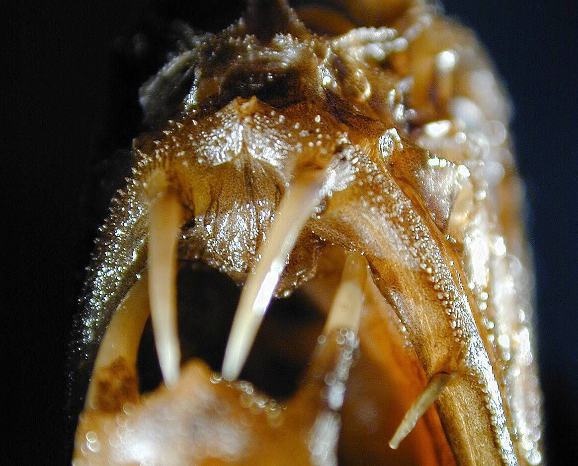Fangtooth, Anoplogaster cornuta - teeth