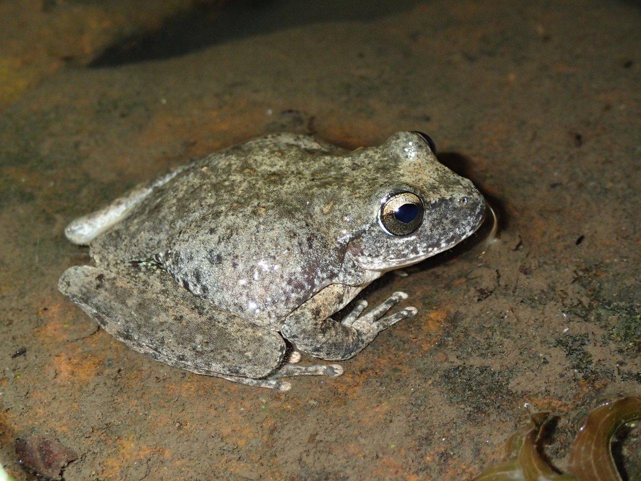 Female Booroolong Frog (Litoria booroolongensis)