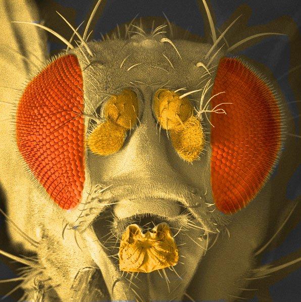 Ferment fly Drosophila melanogaster