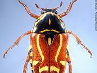 Fiddler Beetle: Eupoecila australasiae Donovan, 1805 (male)