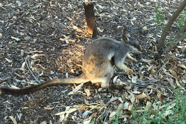 The warru or Central Australian rock-wallaby Petrogale lateralis centralis has been newly recognized as a morphologically and genetically distinct subspecies.