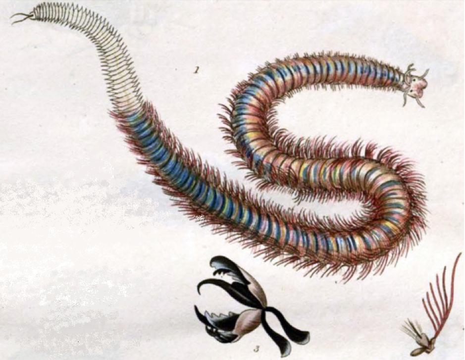Illustration of Marphysa sanguinea