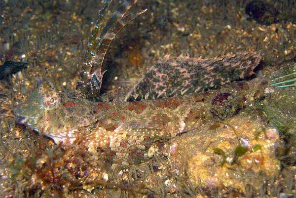 Finger Dragonet, Dactylopus dactylopus