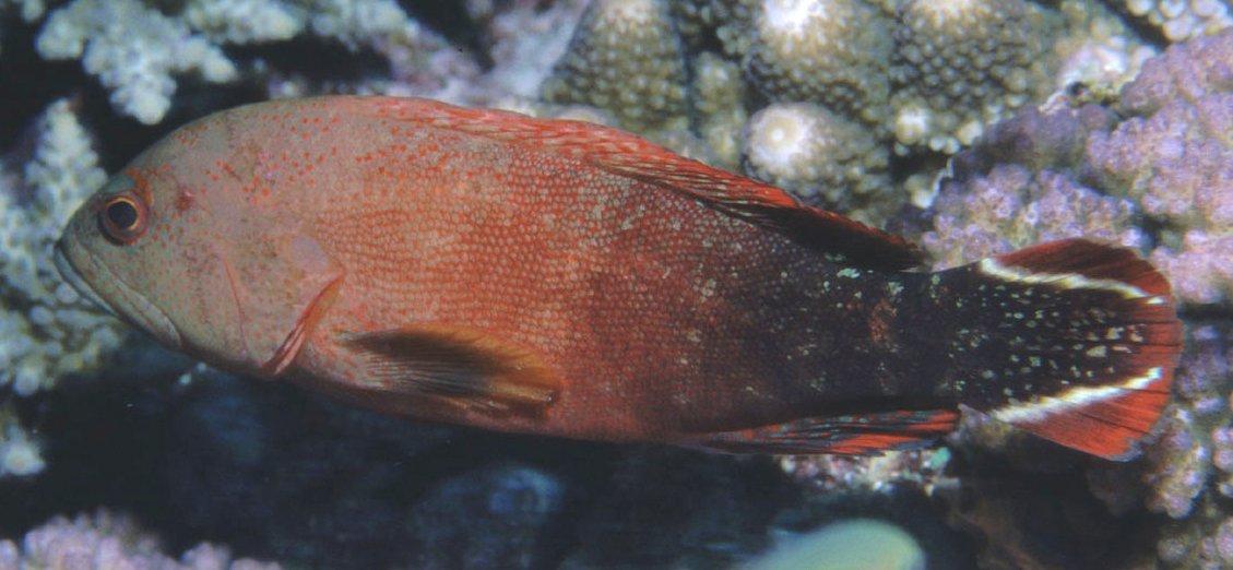 Flagtail Rockcod, Cephalopholis urodeta