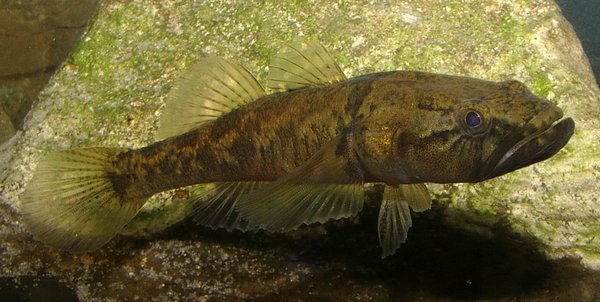 Flathead Gudgeon, Philypnodon grandiceps