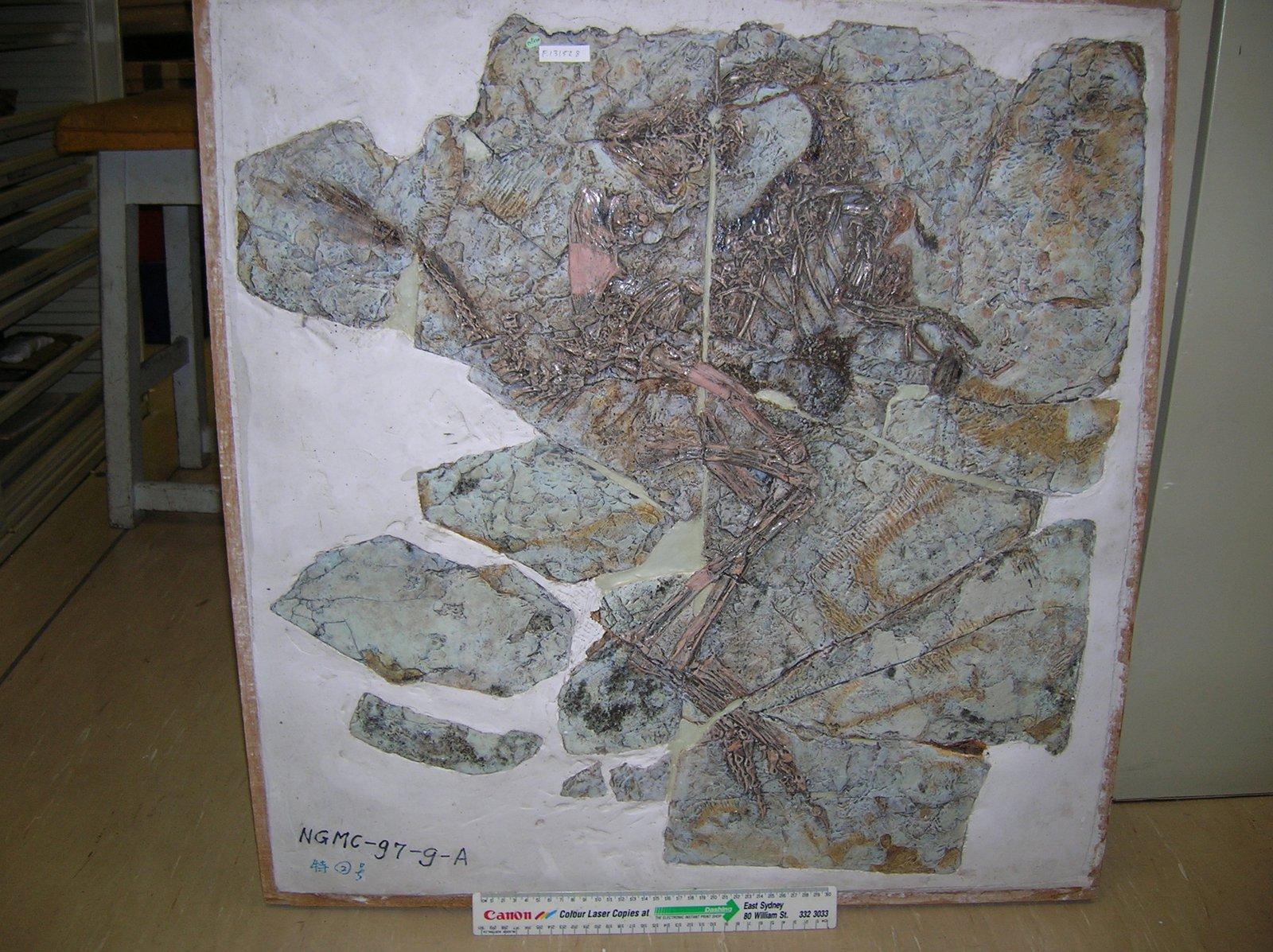 Fossil cast Caudipteryx zoui
