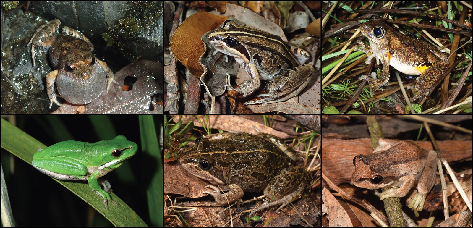 Top six species in year 1 of FrogID