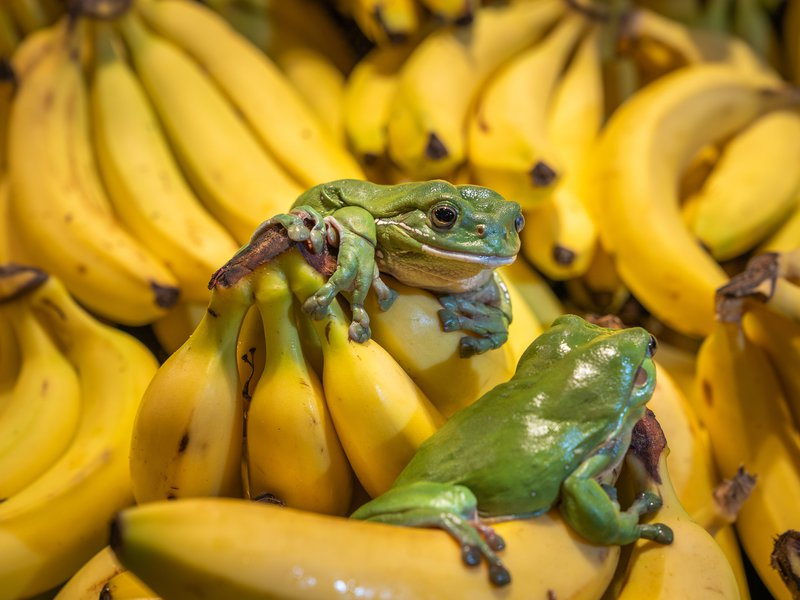 Frogs and Bananas