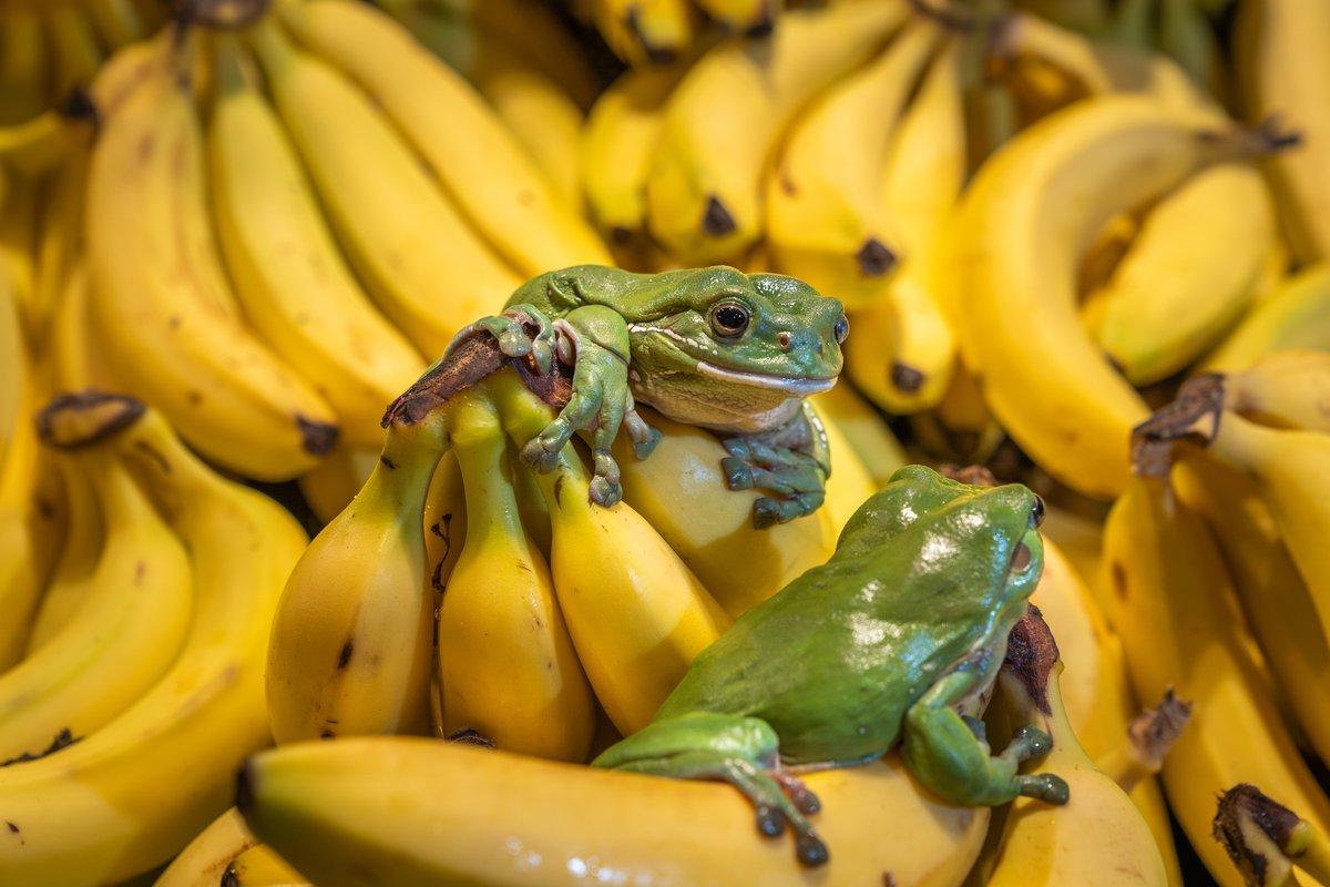 Australian Green Tree Frog Disappears from Sydney Backyards
