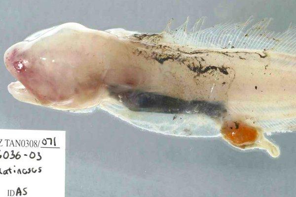 Gelatinous Blindfish, Aphyonus gelatinosus