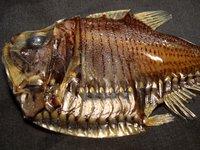 Giant Hatchetfish, Argyropelecus gigas