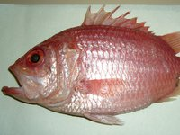 Giant Squirrelfish, Ostichthys japonicus