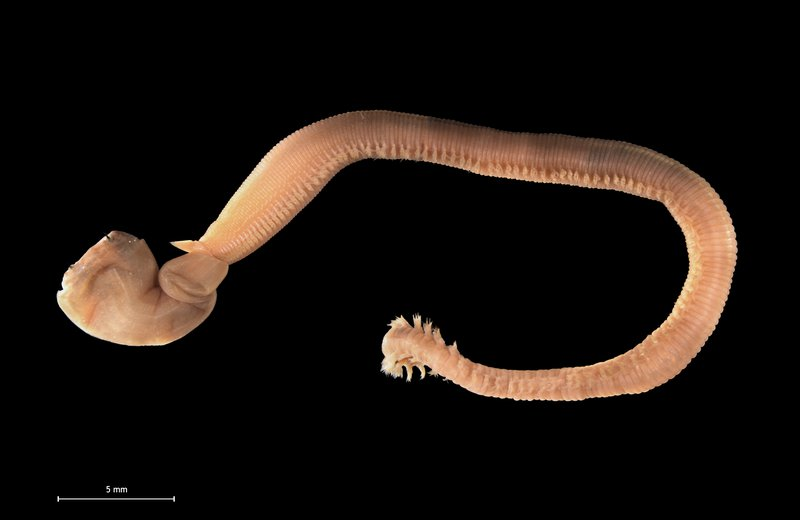 Predatory polychaete (common bloodworm) from the Belgian coastal waters