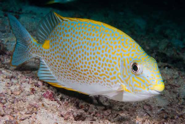 Golden Rabbitfish, Siganus guttatus