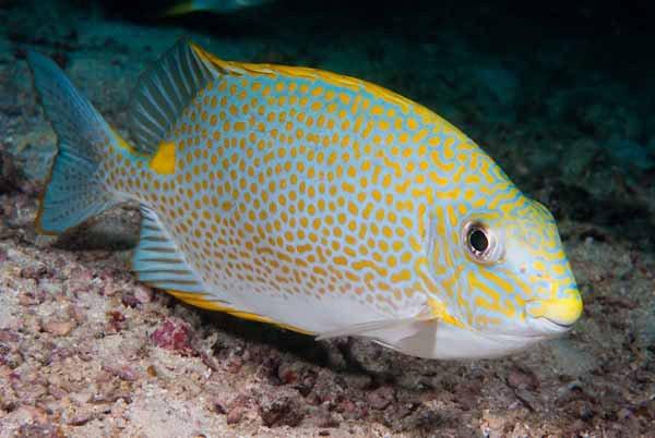 Golden Rabbitfish, Siganus guttatus