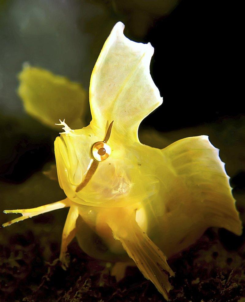 Golden Weedfish, Cristiceps aurantiacus