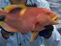 Goldspot Pigfish, Bodianus perditio