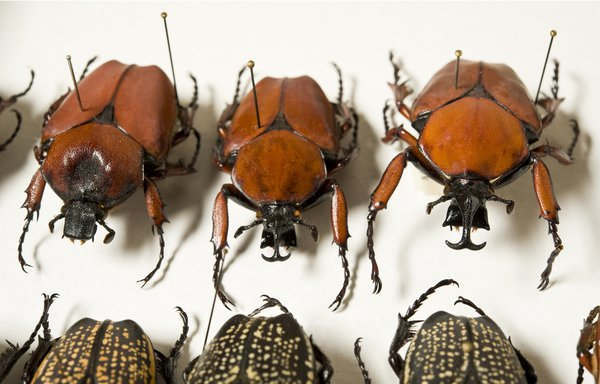 Goliath Beetles (Scarabaeidae: Cetoniinae: Goliathini)