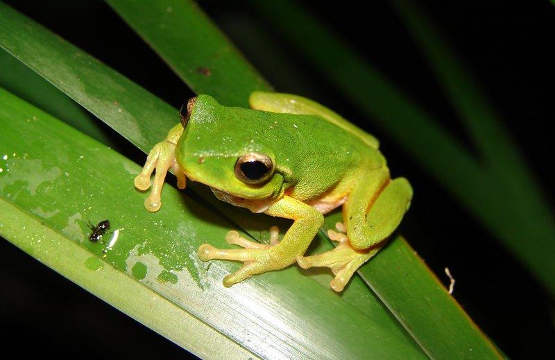 Green Leaf Tree Frog
