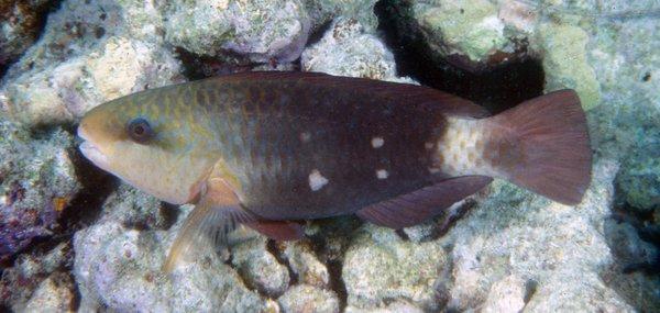 Greenfin Parrotfish, Chlorurus sordidus