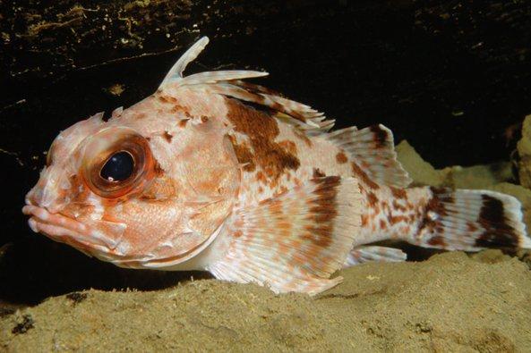 Gulf Gurnard Perch, Neosebastes bougainvillii