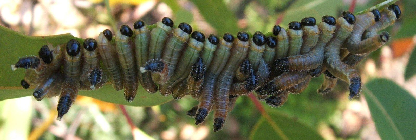 Gum Tree Sawfly larvae