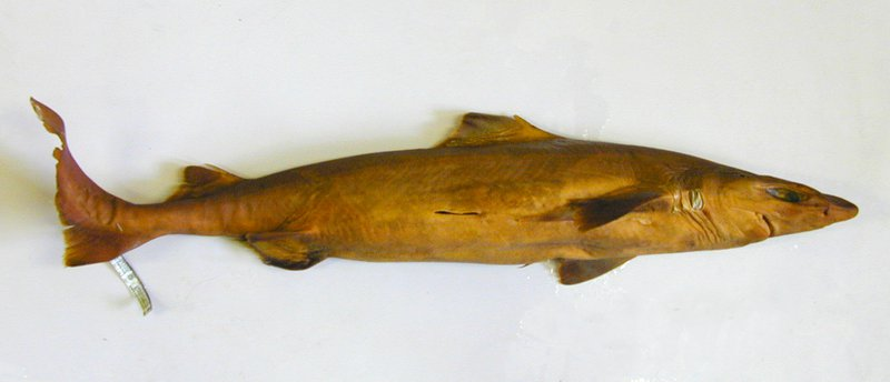 Harrisson's Dogfish, Centrophorus harrissoni