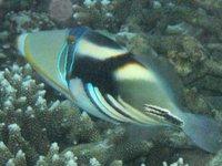 Hawaiian Triggerfish, <i>Rhinecanthus aculeatus<i/>