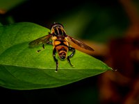 Mesembrius hoverfly