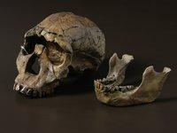Humanoid Skulls: 'Turkana Boy' Homo ergaster skull