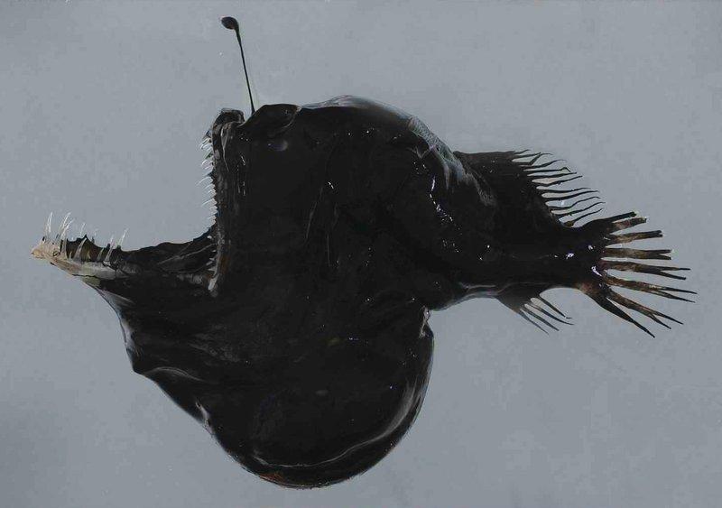 Humpback Blackdevil, <i>Melanocetus johnsonii</i>