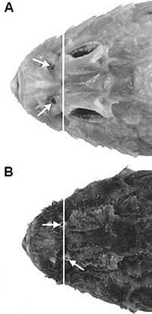 Humpback Scorpionfish - head