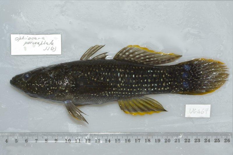 I.44726-001 - Ophiocara porocephala (Whitley, 1950)